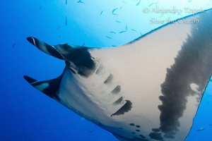 Mantaray with blue, Isla Socorro Mexico by Alejandro Topete