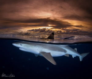 Sunset split Blacktip Reefshark in Yap Mantafest by Steven Miller