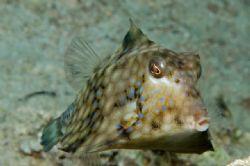 Trunk fish in Gulf of Aqaba 105mm macro by Chris Kennedy