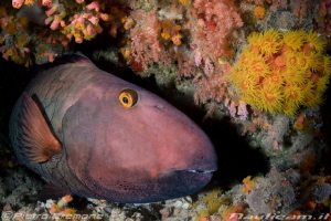 Big parrotfish resting by Pietro Cremone