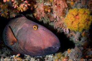 Big parrotfish resting by Pietro Cremone