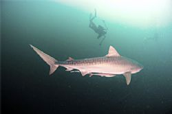 Tiger Shark Photography in Africa. Wild. by Fiona Ayerst