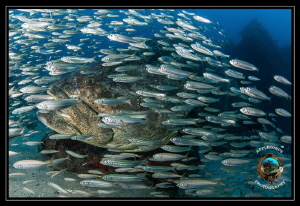 Goliath Grouper within baitball during aggregation season... by Richard Apple