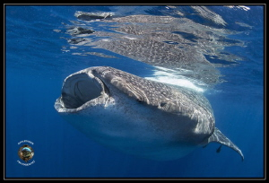 Whale Shark off Isla Mujeres, Mexico by Richard Apple