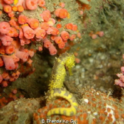 Tiger tail seahorse being a little camera shy :) by Thanda Ko Gyi