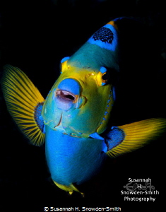 """""""Face To Face"""" Queen angelfish are normally quite skiddi... by Susannah H. Snowden-Smith"""