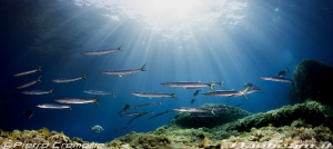 Barracudas in the shallow by Pietro Cremone