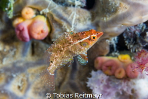 Juvenile wrasse on Kensho Maru, Chuuk by Tobias Reitmayr