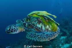 Turtle with wings. by Carl Gennaro