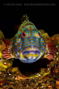Stocky Hawkfish by Stuart Ganz