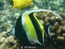 Moorish Idol in waters of coast of Big Island Hawaii by Jill Bruno