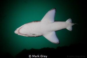 """Belly"" Grey Nurse Shark by Mark Gray"