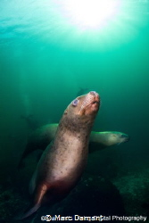 A Emerald Sea Siren. The Stellar Sea Lion swimming in the... by Marc Damant