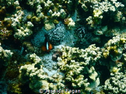 Anemone fish poking his head out of his home. by Jessica Fagan