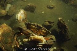 Preekhil, de val cab sitting on a black mussel. by Judith Verkerk