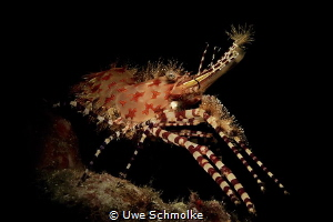 Saron shrimp - Saron marmoratus by Uwe Schmolke
