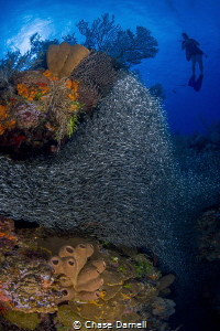 """""""Hiding in the Colors"""" A large group of Silversides pack... by Chase Darnell"""