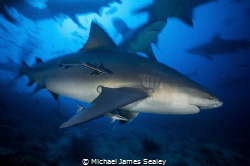 A Carcharhinus leucas in motion at Fiji's famous Shark Dive by Michael James Sealey