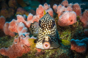 Face to face with puffer fish, Klein  Bonaire by Alejandro Topete