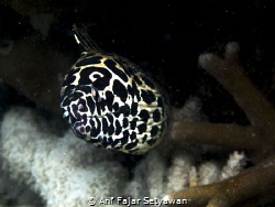 """Beauty from The Sea"" The Spotted Moray Eel, Gymnothorax... by Arif Fajar Setyawan"