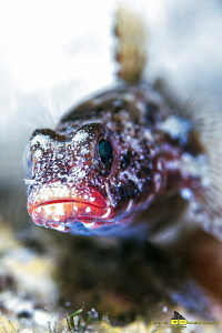 Blenny at Bokeh by Marco Faimali (ismar-Cnr)