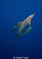 A chance encounter with the rare Rough Toothed Dolphin wh... by Jessie Cripps
