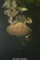 """Scharendijke, wreck """"De zeehond"""" huge crab. by Judith Verkerk"""