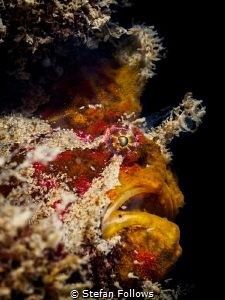 The Horror  Frogfish - Antennarius maculatus  Chalokl... by Stefan Follows