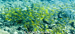 Rabbitfish Attack!!...and I don't know which is the leade... by Arif Fajar Setyawan