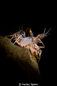 Tiger Shrimps Rock My World by Henley Spiers