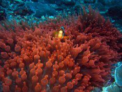 Clark's Anemonefish, taken in the Similan Islands Thailan... by Charlie Bird