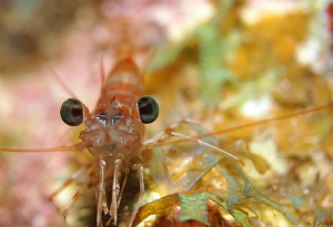 Carribean Velvet Shrimp (Metapenaeopsis goodei) by Brad Ryon