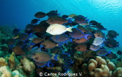 It is very common to find in Bonaire this school of Surge... by Carlos Rodríguez V.