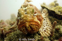 Close up of Scorpion Fish taken off Rotnest island. Fish ... by Ally Smith