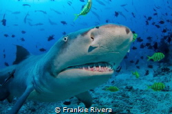 A Lemon Shark checking out my camera by Frankie Rivera