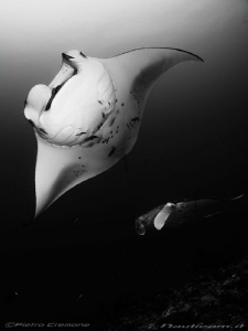 Manta rays at cleaning station by Pietro Cremone