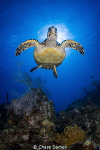 """""""Lift Off"""" A Hawksbill starts his accent to the surface. by Chase Darnell"""