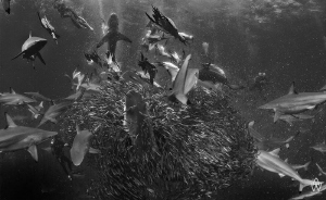 """Controlled Chaos"" - Taken on the annual Sardine Run, Tra... by Allen Walker"