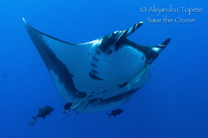 Amazing Mantaray with jacks, Socorro Island  Mexico by Alejandro Topete