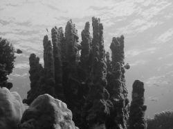 Sinularia taken at Naklet El Tal site in Nabq Park with N... by Nikki Van Veelen