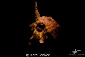 Watchful Eye! Common Octopus by Kate Jonker