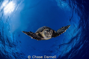 """""""Descending"""" A large Hawksbill Turtle makes his plunge b... by Chase Darnell"""