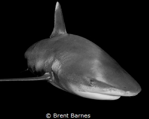 The sly grin of an oceanic white tip shark as it makes a ... by Brent Barnes