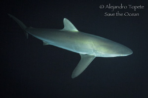 Silky shark at nigth, San Benedicto Mexico by Alejandro Topete