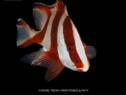 Emperor Snapper @ Lembeh by Christopher Teoh