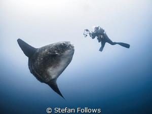 The Longing  Southern Ocean Sunfish - Mola ramsayi  G... by Stefan Follows