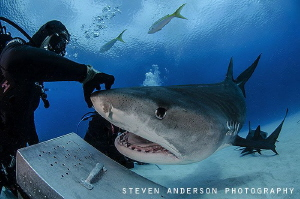 Just a scratch on the nose for this large Tiger Shark. Th... by Steven Anderson