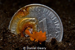 Juvenile painted frogfish in front of a Philippines 1 pes... by Daniel Geary