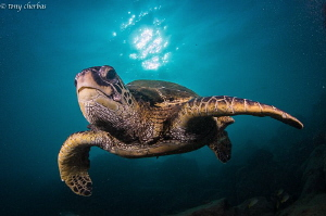 Green Sea Turtle from this afternoon in Hawaii by Tony Cherbas