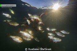 Rudd fish in the sunset by Rostislav Štefánek